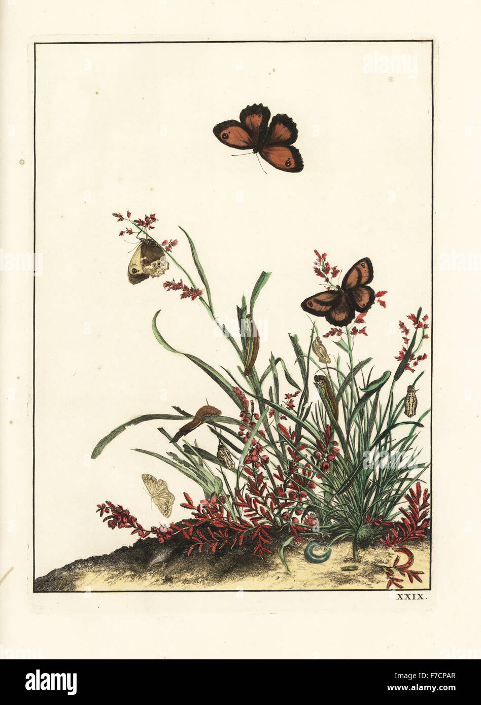Gatekeeper butterfly, Pyronia tithonus, on grasses. Handcoloured copperplate engraving drawn and etched by Jacob - Stock Image