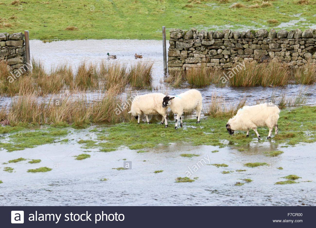 Holwick, Middleton-in-Teesdale, Co Durham UK 29th November 2015 The weather more suitable for the ducks as they - Stock Image