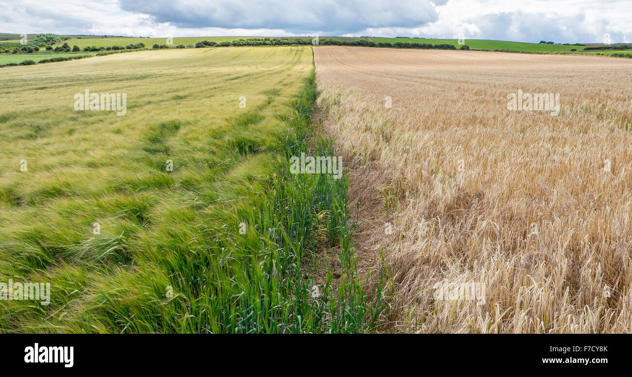 Boundary between two field of wheat, one fully ripened, one with more time yet to go Stock Photo