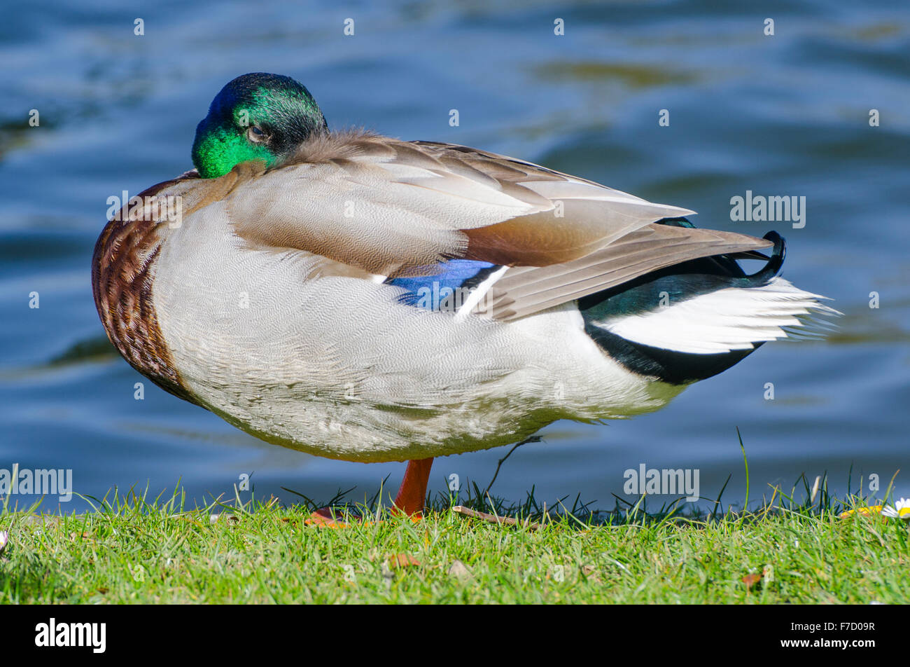 Drake Mallard duck (Anas platyrhynchos) standing on grass by the water in the UK. - Stock Image
