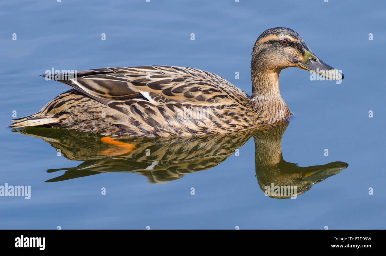 Female Mallard duck (Anas platyrhynchos) on a lake with it's reflection in the water, in the UK. Mallard duck - Stock Image