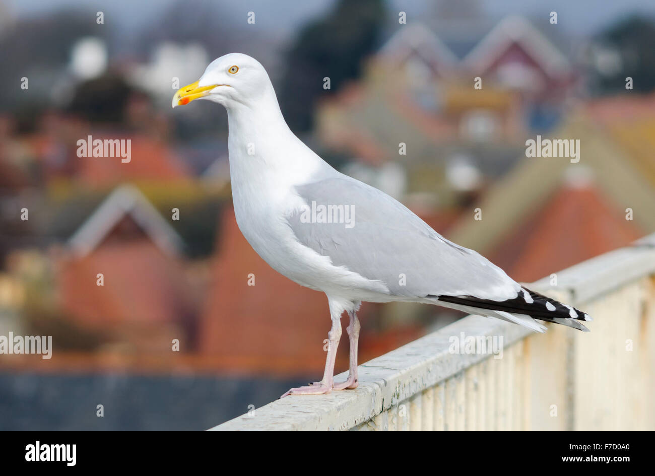 Adult Herring Gull (Larus Argentatus) in Spring standing above house rooftops overlooking a town in the UK. Seagull - Stock Image