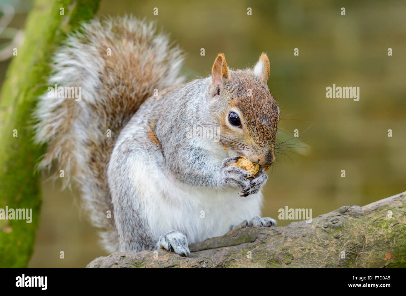 Grey Squirrel (Sciurus Carolinensis) eating a nut on the branch of a tree. - Stock Image