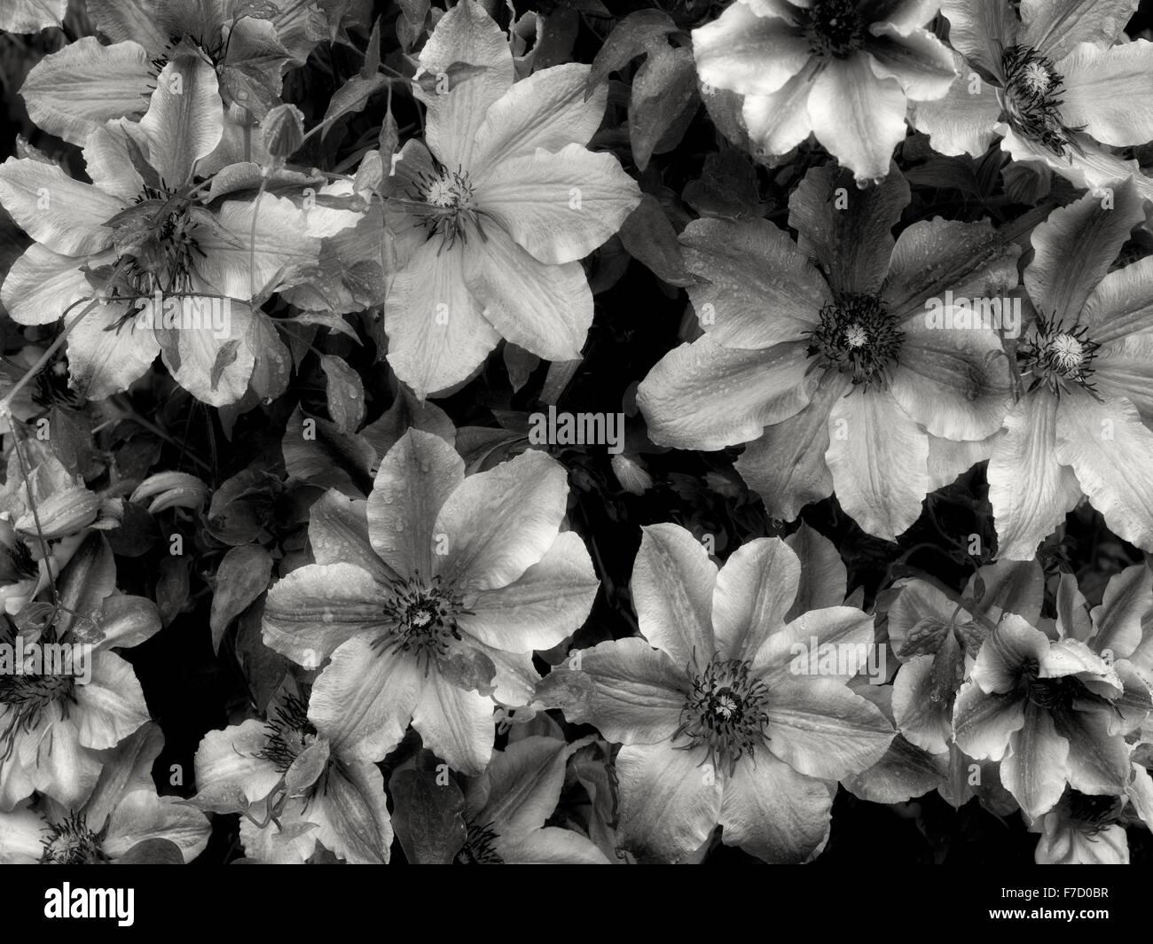 Close up of Carnaby Clematis. Schrieners Iris Gardens. Oregon - Stock Image