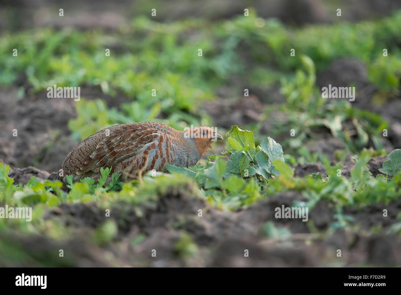 Grey partridge / Rebhuhn ( Perdix perdix ) crouching between herbs on a field, eating seeds. - Stock Image