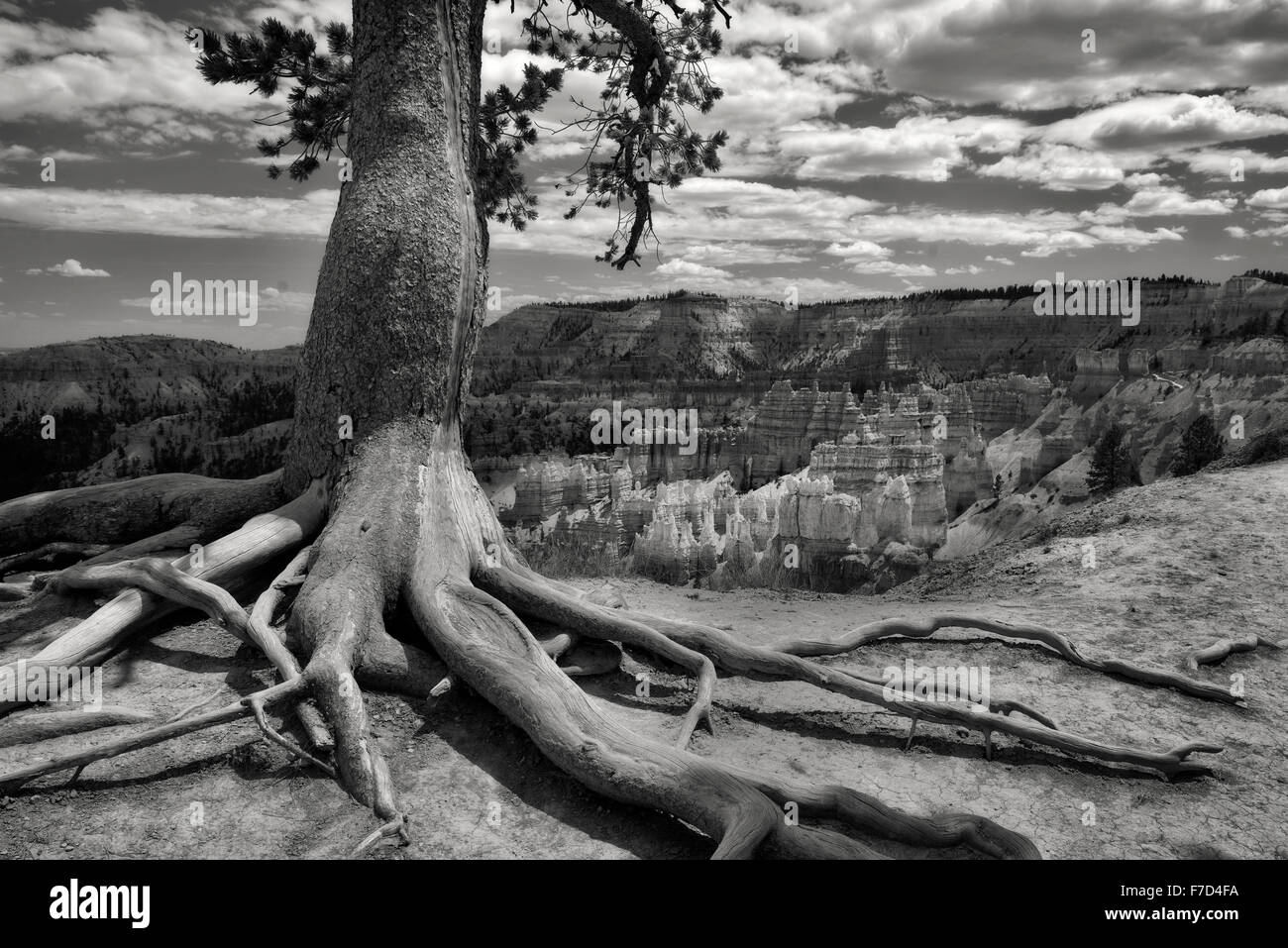 Exposed tree roots and rock formations hoodoos in Bryce National Park, UT Stock Photo