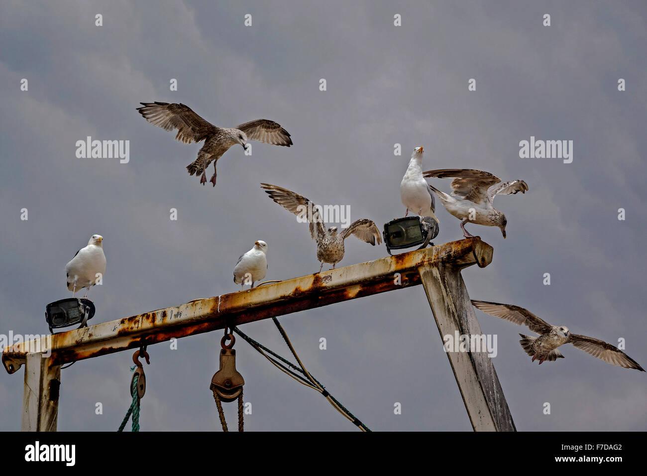 Herring Gulls ( Larus argentatus) Perched on a Gantry Hastings UK - Stock Image