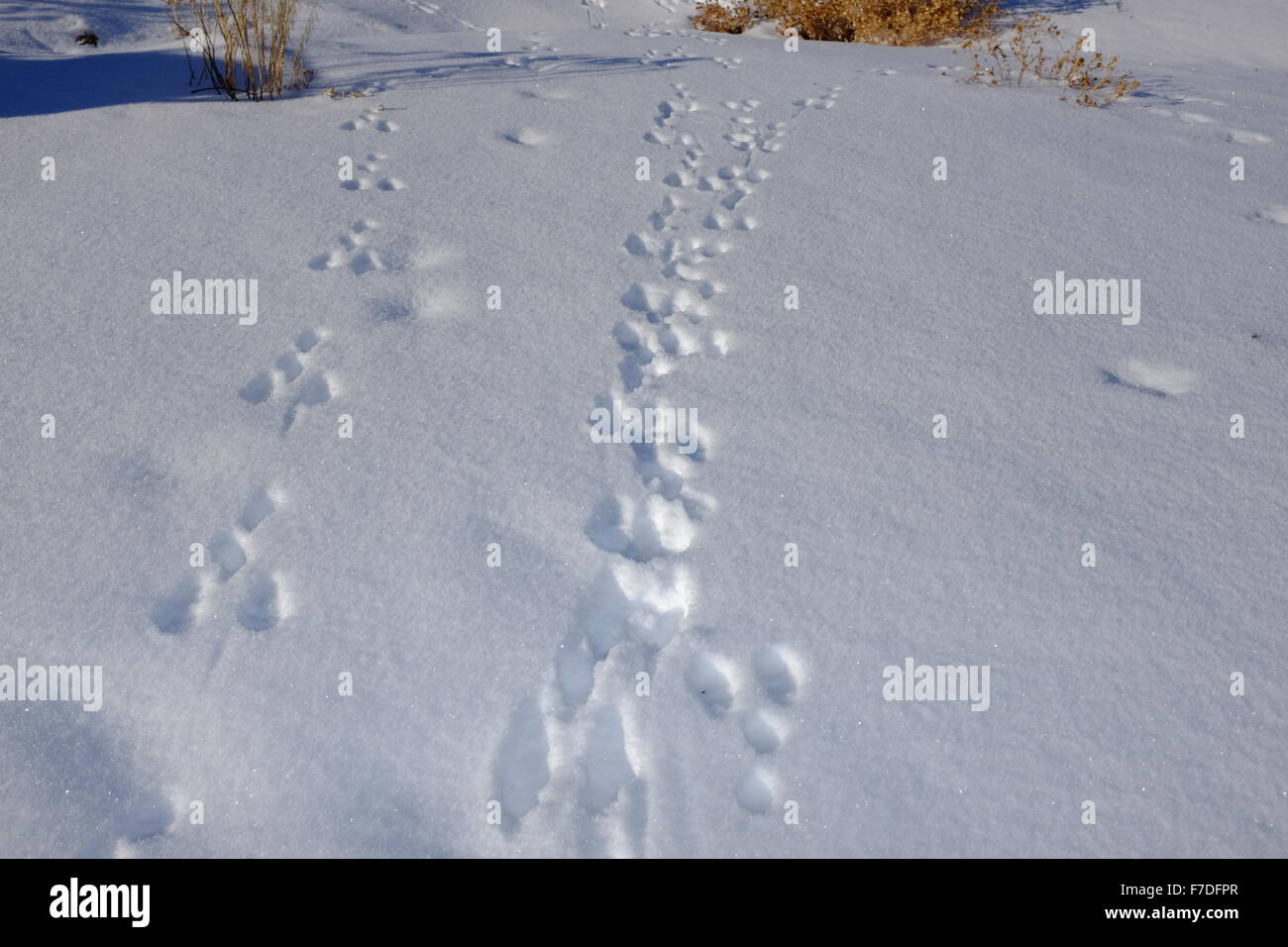 Winter snow scenes with animal tracks and frost in the trees - Stock Image
