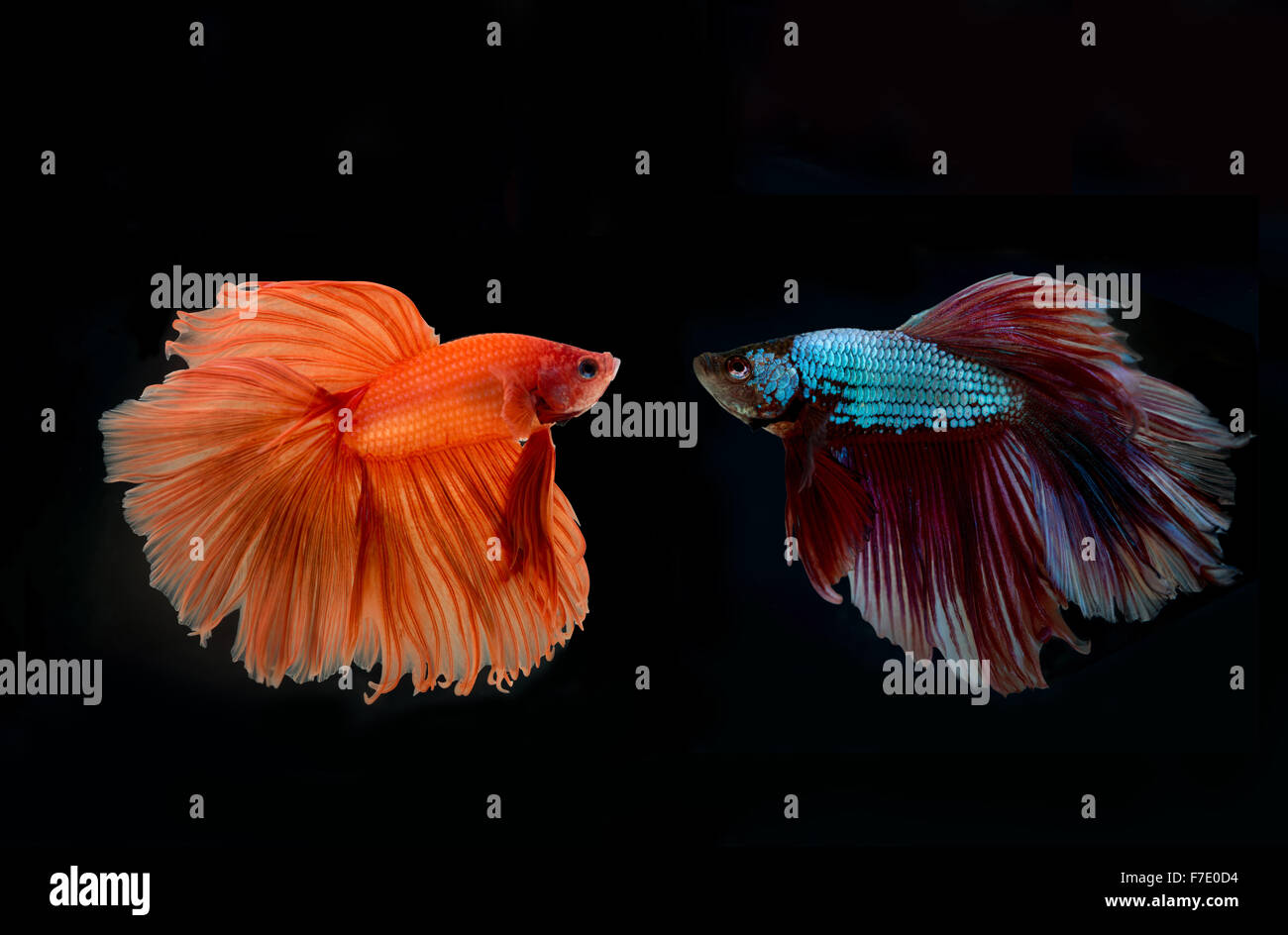 siamese fighting fish confronting - Stock Image