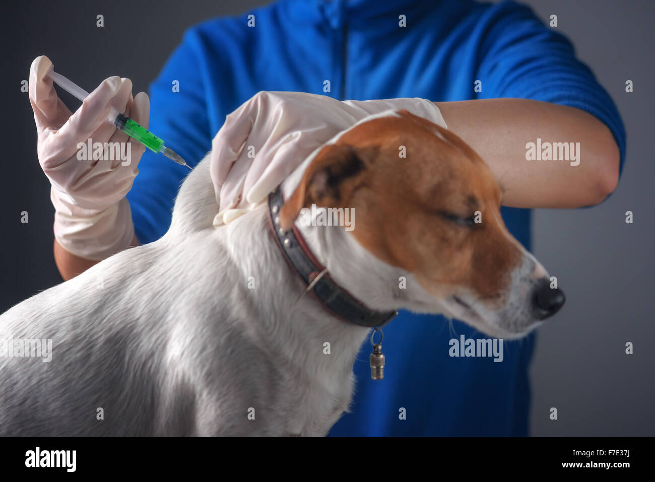 dog injecting by vet doctor - Stock Image
