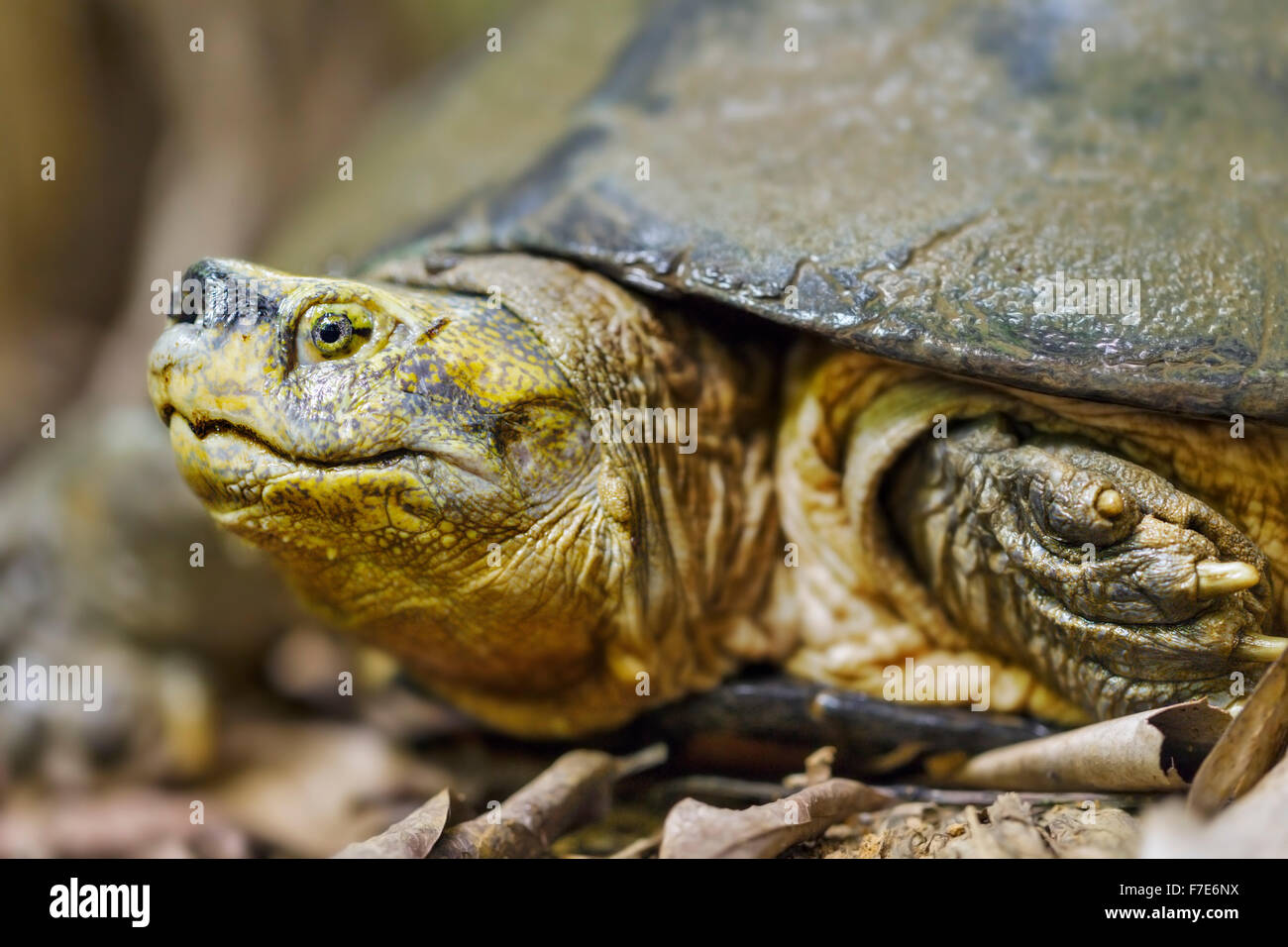 Endangered Yellow Headed Temple Turtle (Heosemys annandalii) at the Cuc Phuong Turtle Conservation Center in Vietnam. - Stock Image