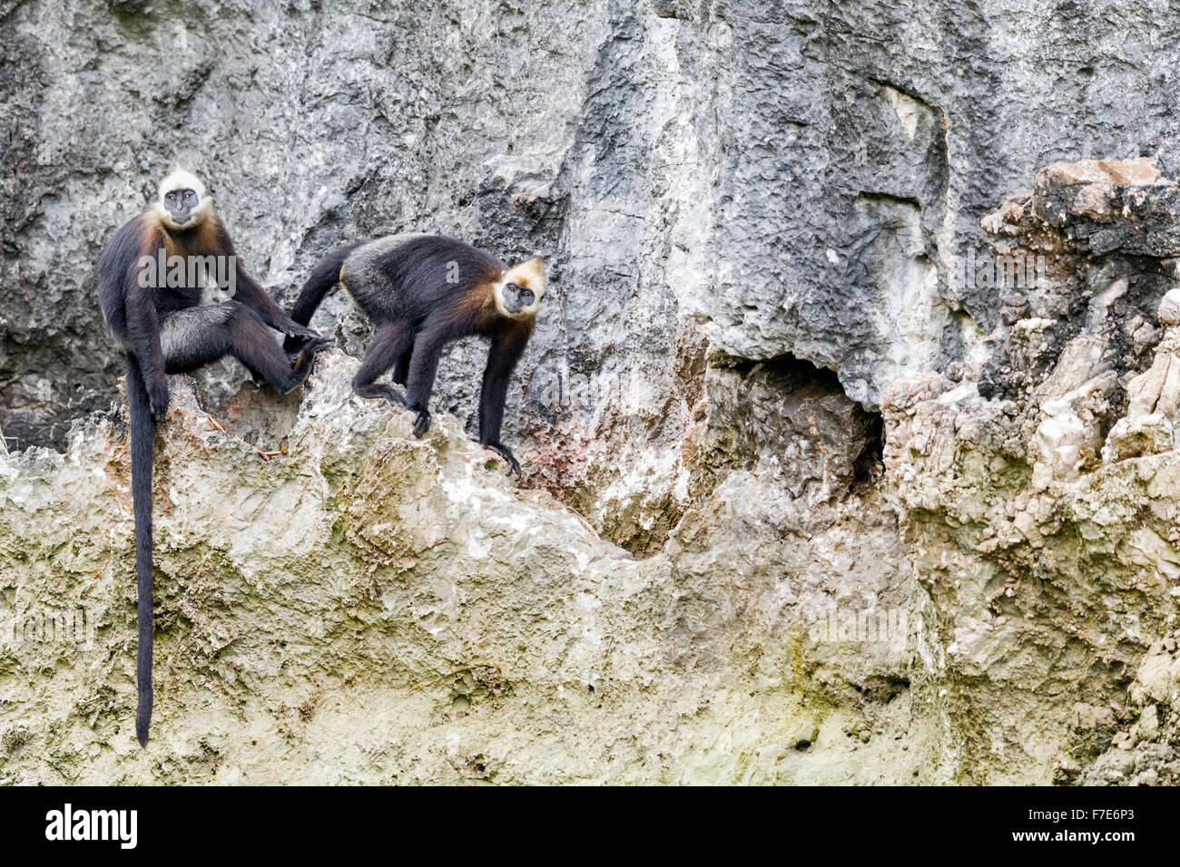 A female Cat Ba langur (Trachypithecus p. poliocephalus) in oestrous presents to a  male, Cat Ba Island, Vietnam - Stock Image