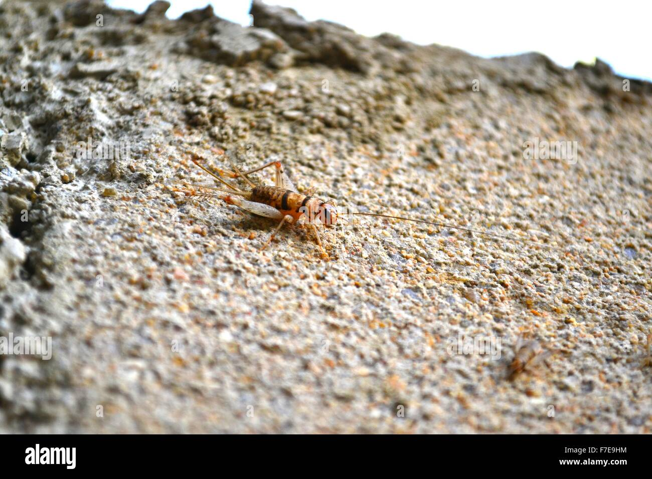 A cricket hopping on a building - Stock Image