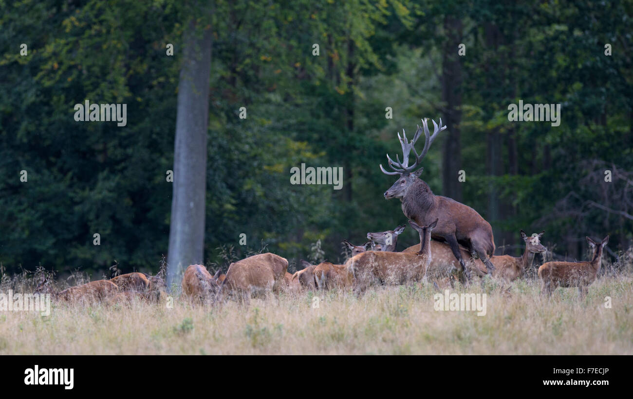 Red deer (Cervus elaphus), rutting stag, mating, Zealand, Denmark - Stock Image