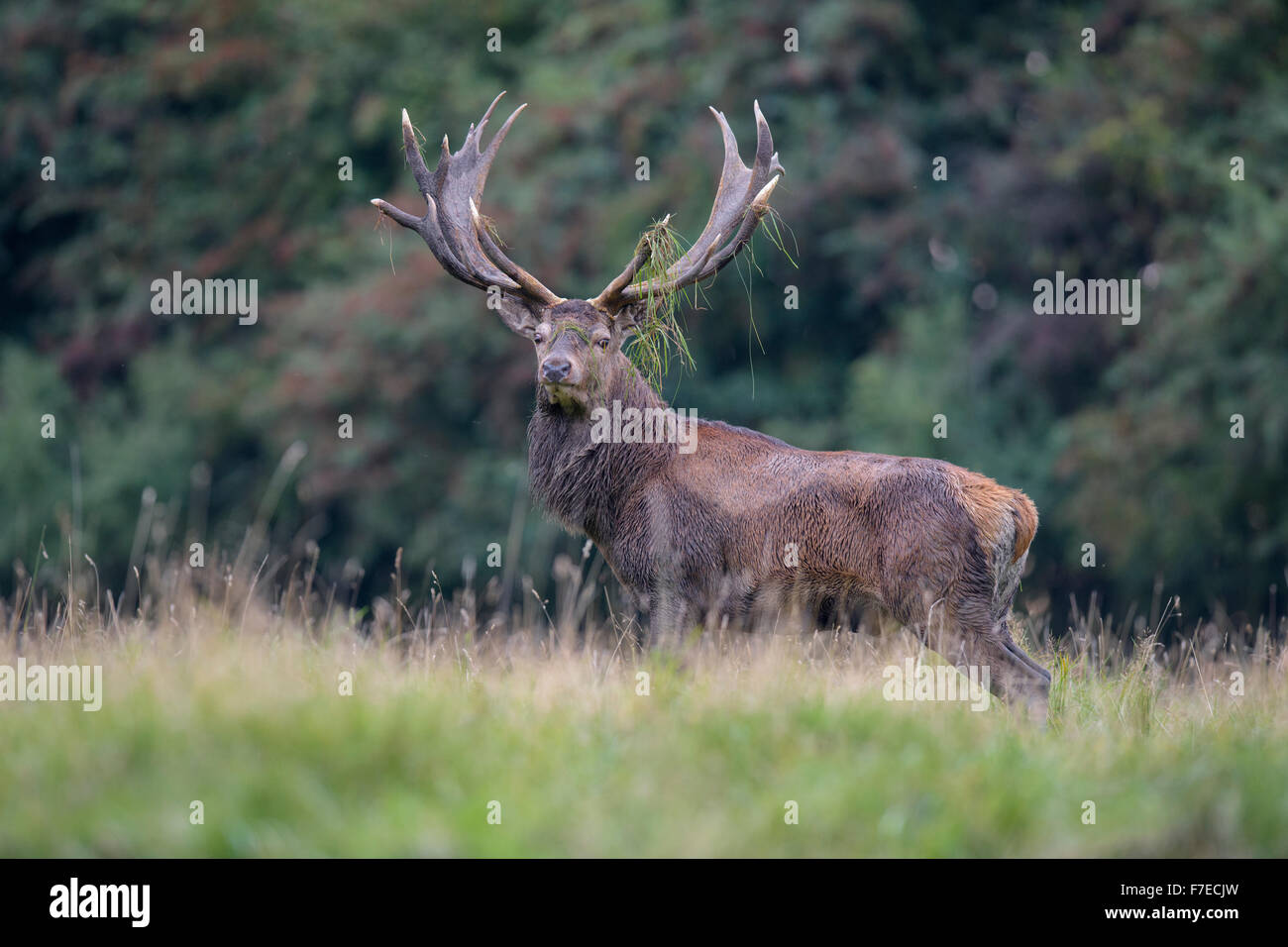 Red deer (Cervus elaphus), Royal Stag near forest, roaring, grass in antlers, Zealand, Denmark - Stock Image