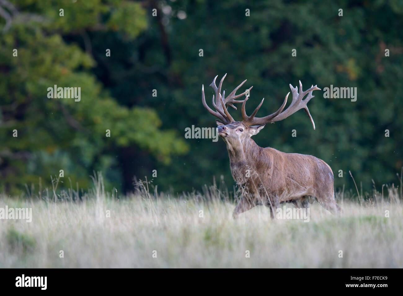 Red deer (Cervus elaphus), Royal Stag, display behaviour, Zealand, Denmark - Stock Image
