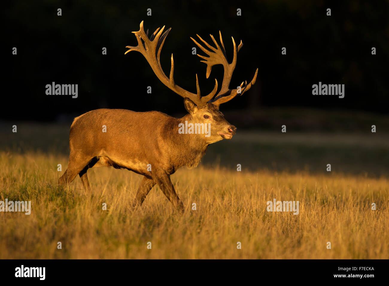 Red deer (Cervus elaphus), Royal Stag in last light, Zealand, Denmark - Stock Image