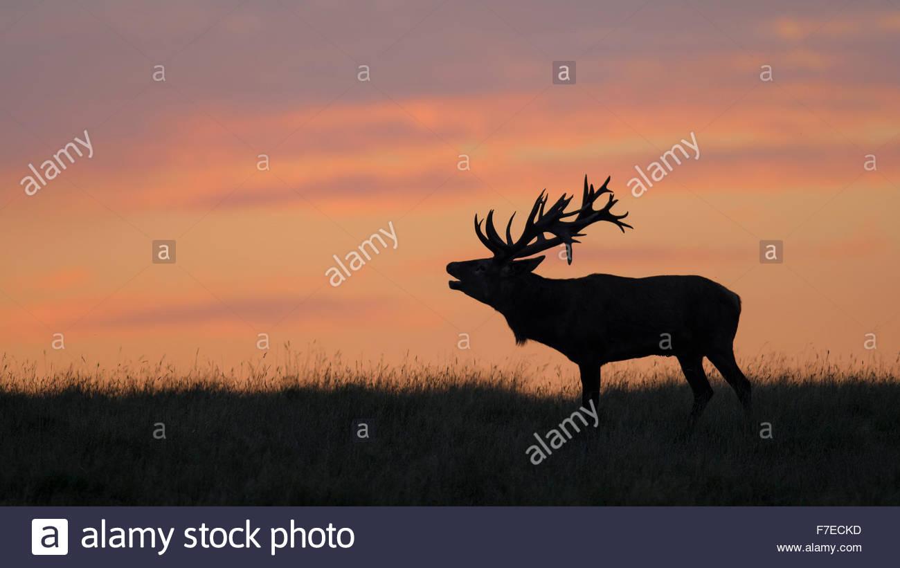 Red deer (Cervus elaphus), Royal Stag in last light, silhouette, red sky, sunset, Zealand, Denmark - Stock Image