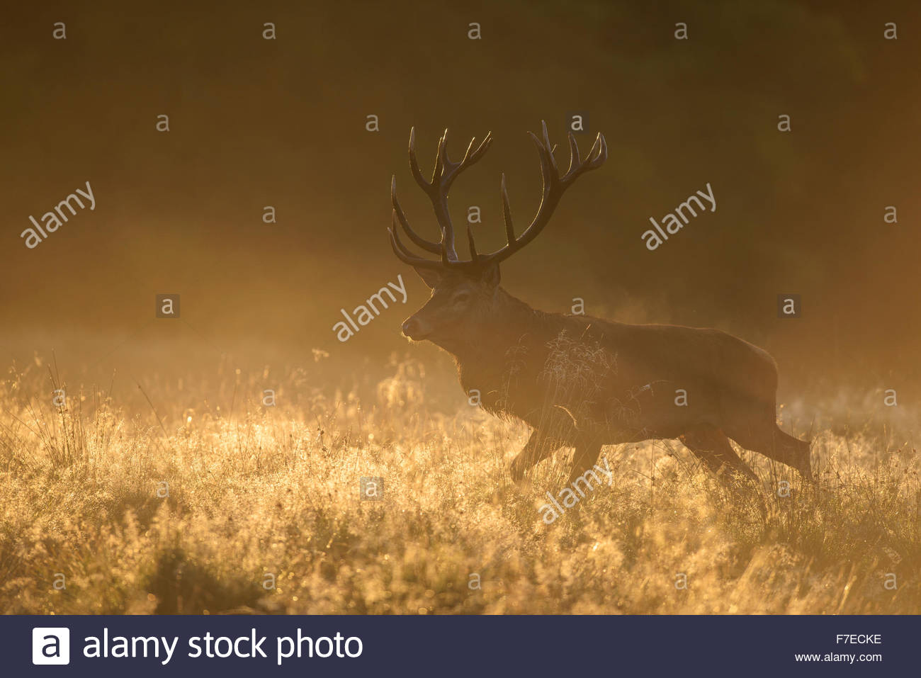 Red deer (Cervus elaphus), stag in first light, dewy meadow and fog, Zealand, Denmark - Stock Image