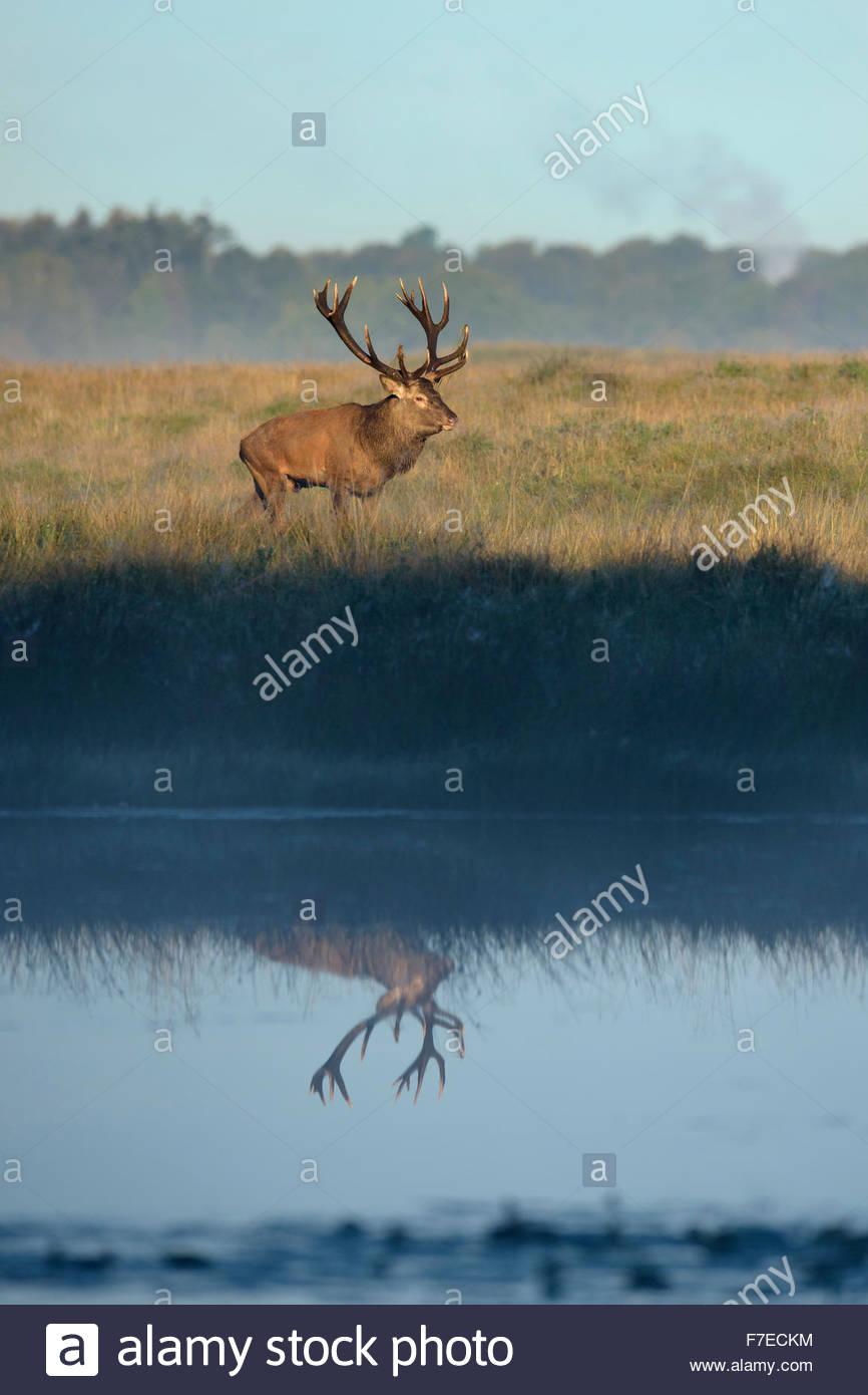 Red deer (Cervus elaphus), reflection in lake, Zealand, Denmark - Stock Image