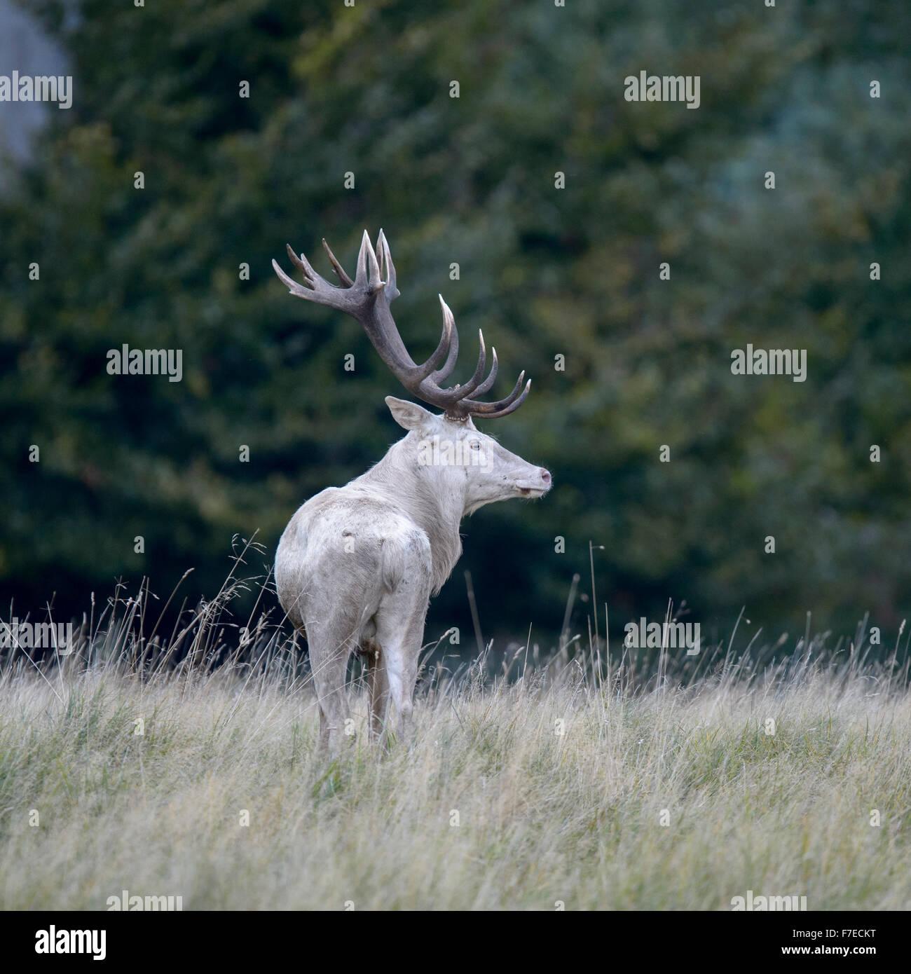 Red deer (Cervus elaphus), white morph on forest meadow, Zealand, Denmark - Stock Image