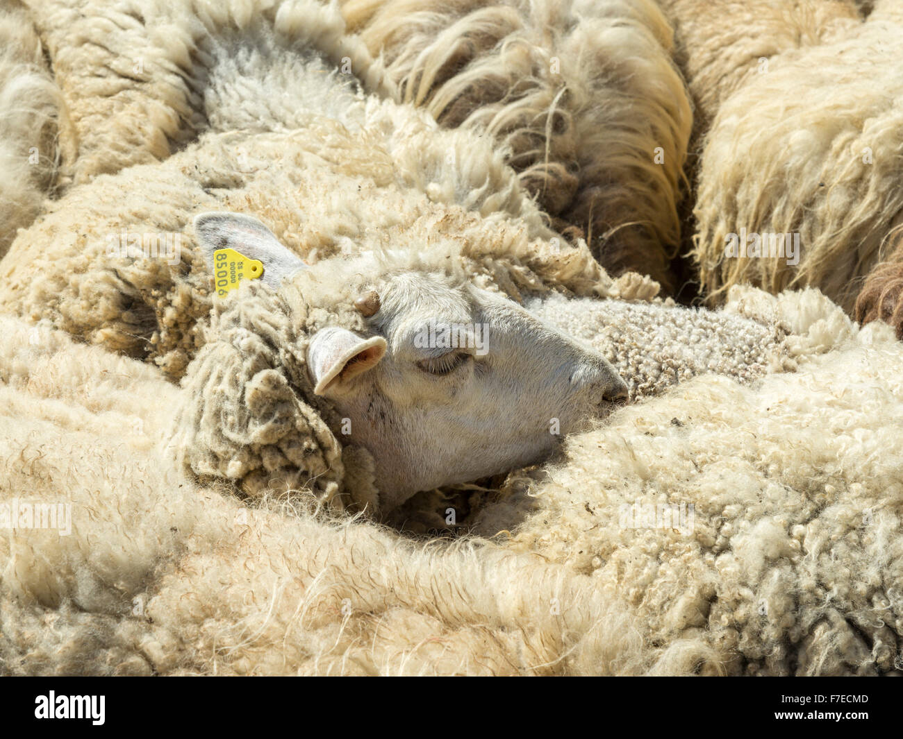 Flock of sheep, Brez, Cantabria, Spain - Stock Image