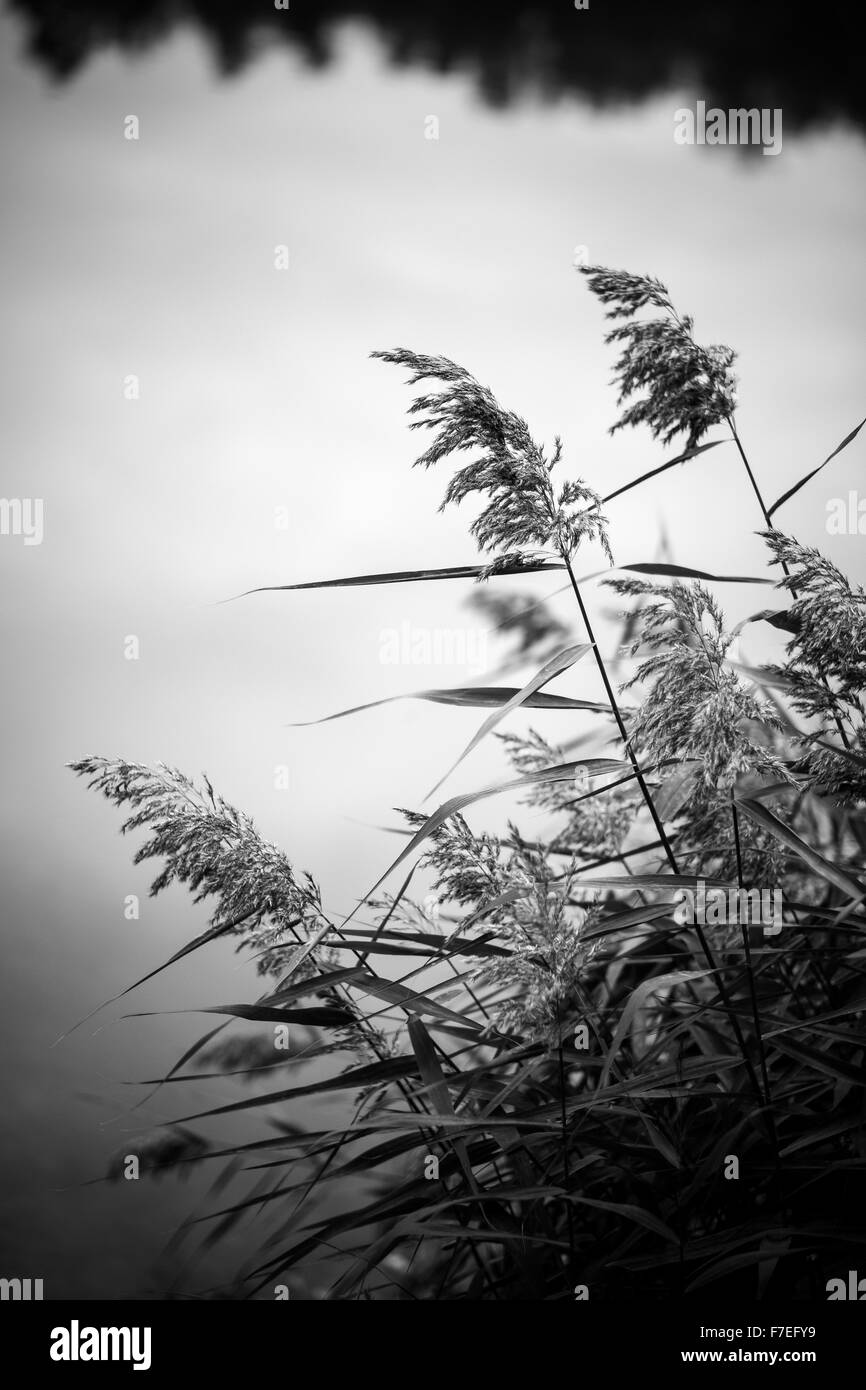 BW grass and water - Stock Image