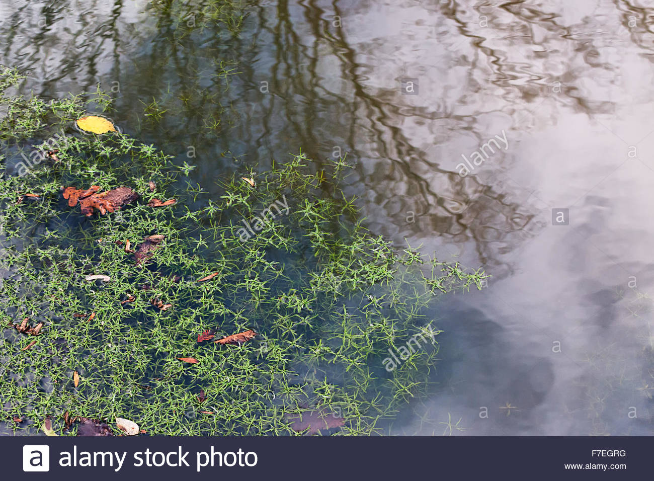 Pond weeds reflection - Stock Image