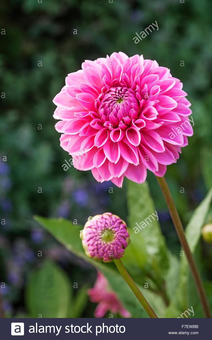Dahlia flowers 'Berlin' - Spring - Chenies Manor Gardens - Stock Image