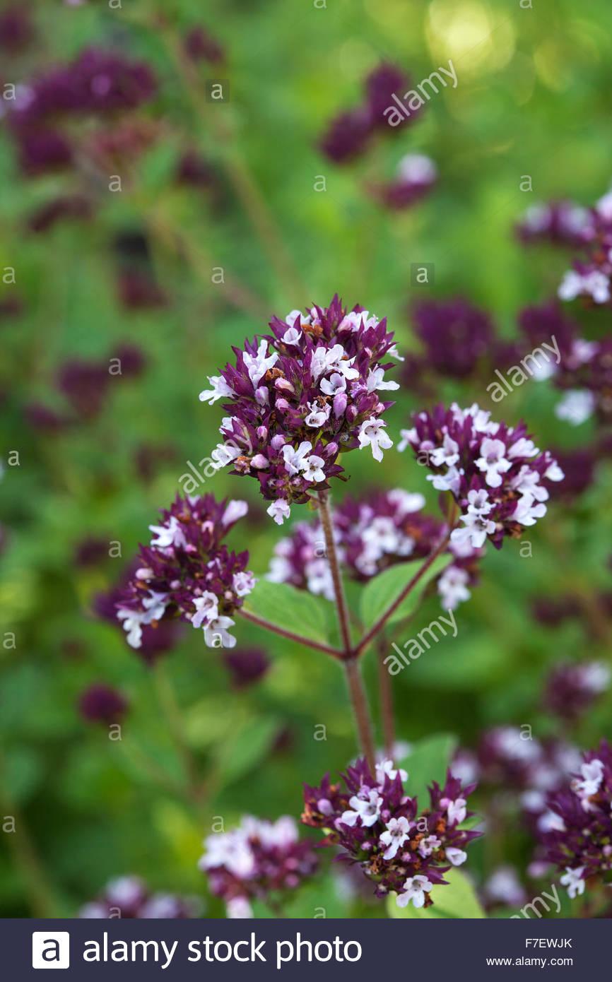 Origanum majorana - herb garden - Chenies Manor Gardens - Stock Image