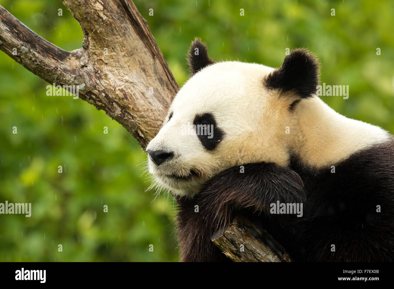 Giant panda bear falls asleep during the rain in a forest after eating bamboo - Stock Image