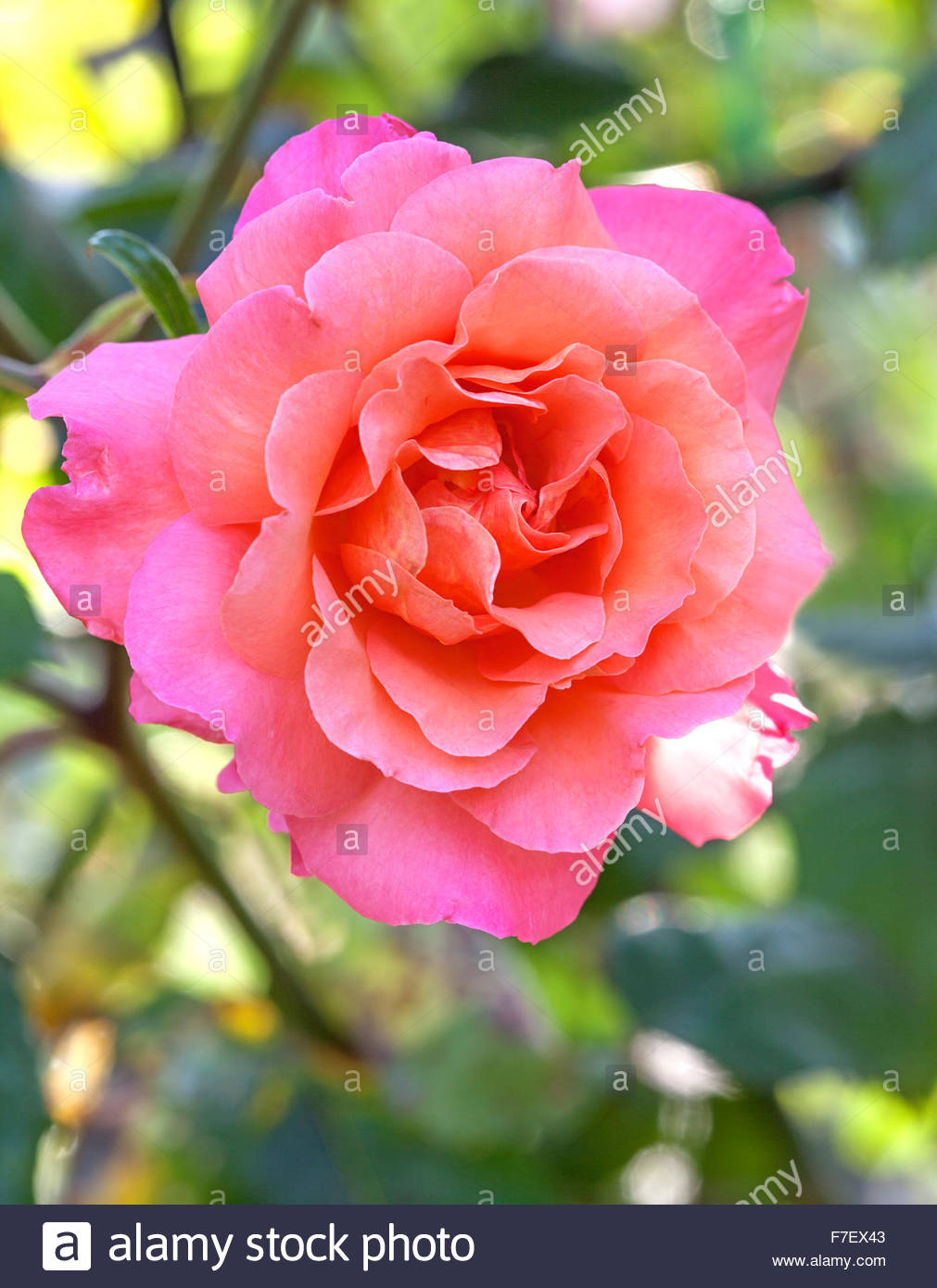 Rosa 'Warm Welcome' Climbing rose - Capel Manor Gardens - Stock Image