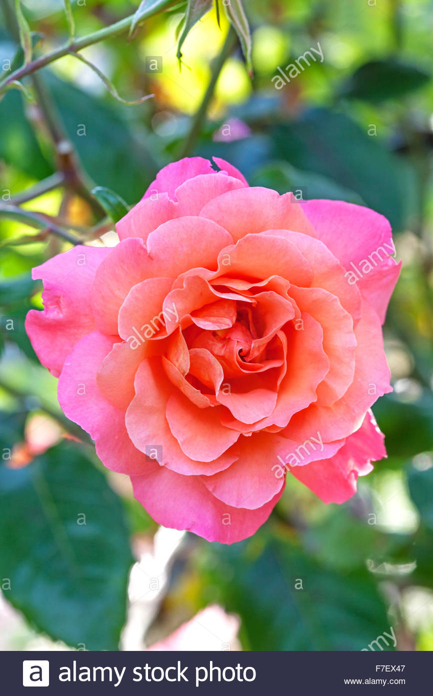 Rosa 'Warm Welcome' - Rose - Stock Image