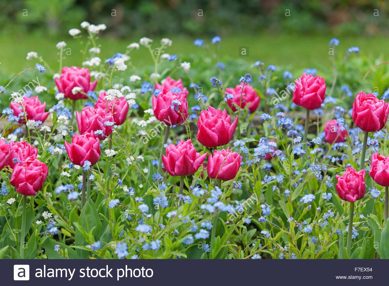 Tulipa 'Queen of Marvel' with Myosotis - Chenies Manor Gardens - Spring Garden - Stock Image