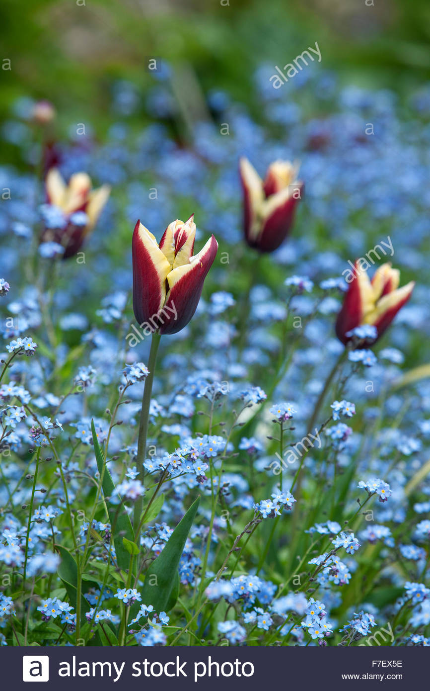 Tulipa 'Gavota' with Myosotis - Chenies Manor Spring Garden - Stock Image