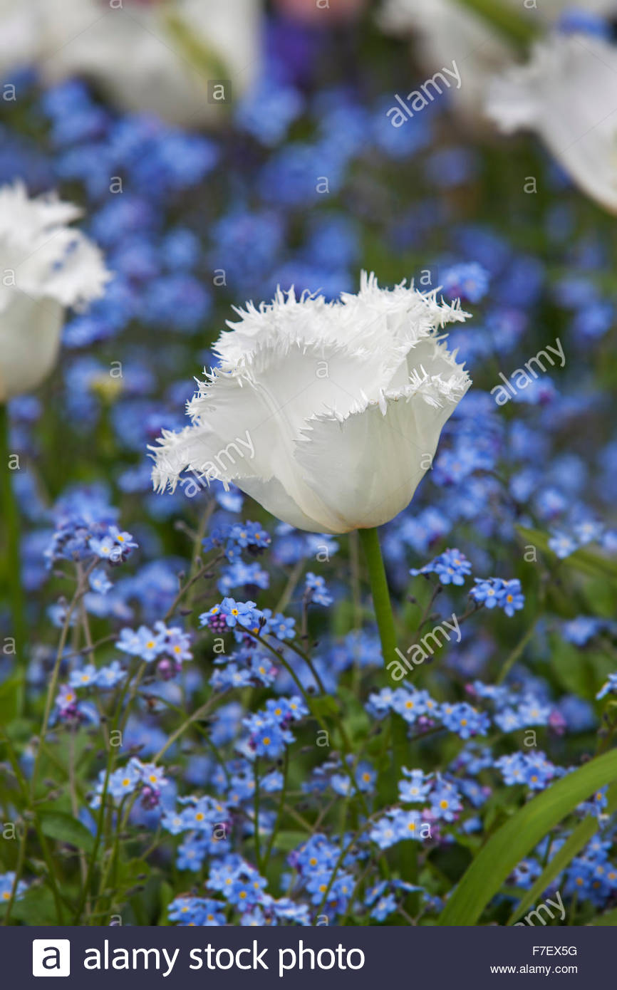 Tulipa 'Honeymoon' - White fringed Tulip with Myosotis - Chenies Manor Spring Garden - Stock Image