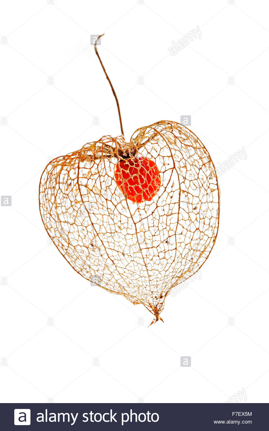 Physalis alkekengi seed pod - Chinese lantern - Stock Image