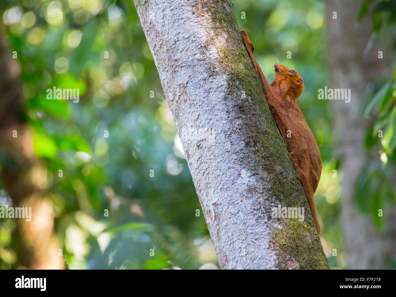 Orange color variation of the Sunda Flying Lemur (Galeopterus variegatus) also known as Colugo, roosting on a tree - Stock Image