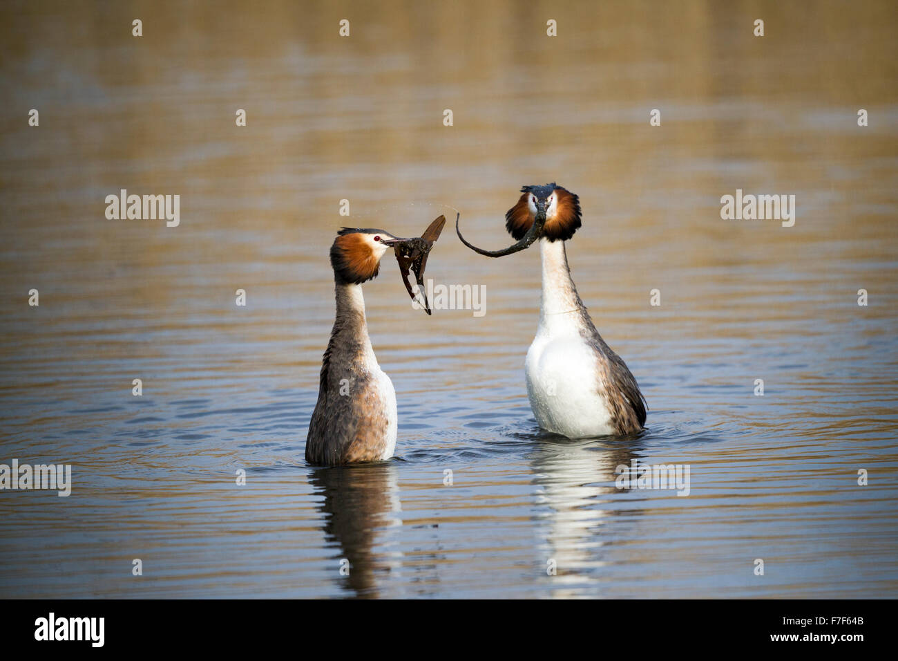 Great Crested Grebes Podiceps cristatus in weed dance display - Stock Image