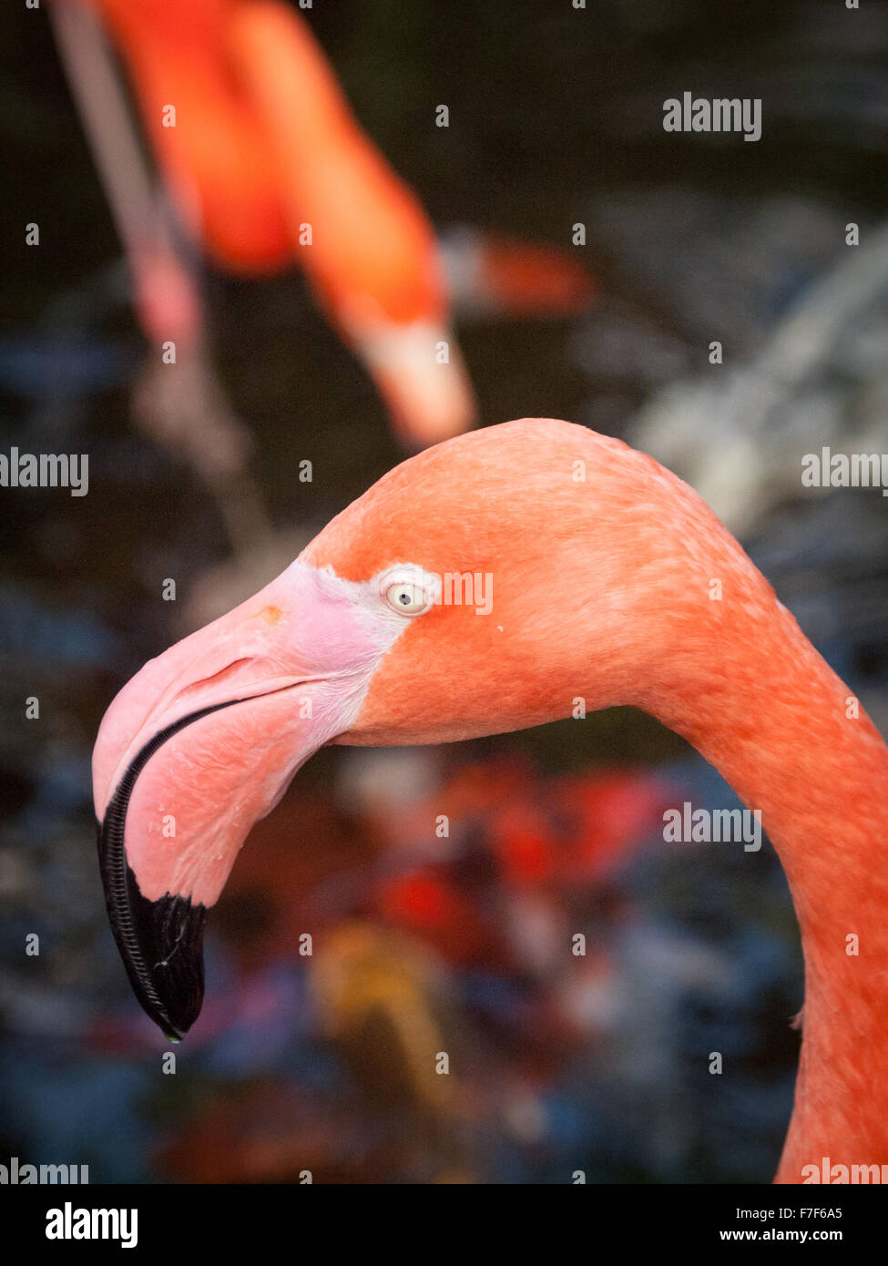 An American Flamingo (Caribbean Flamingo) in captivity at the Victoria Butterfly Gardens near Victoria, Canada. - Stock Image