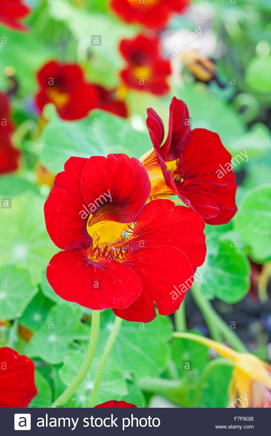 Nasturtium 'Jewel of Africa' Stock Photo
