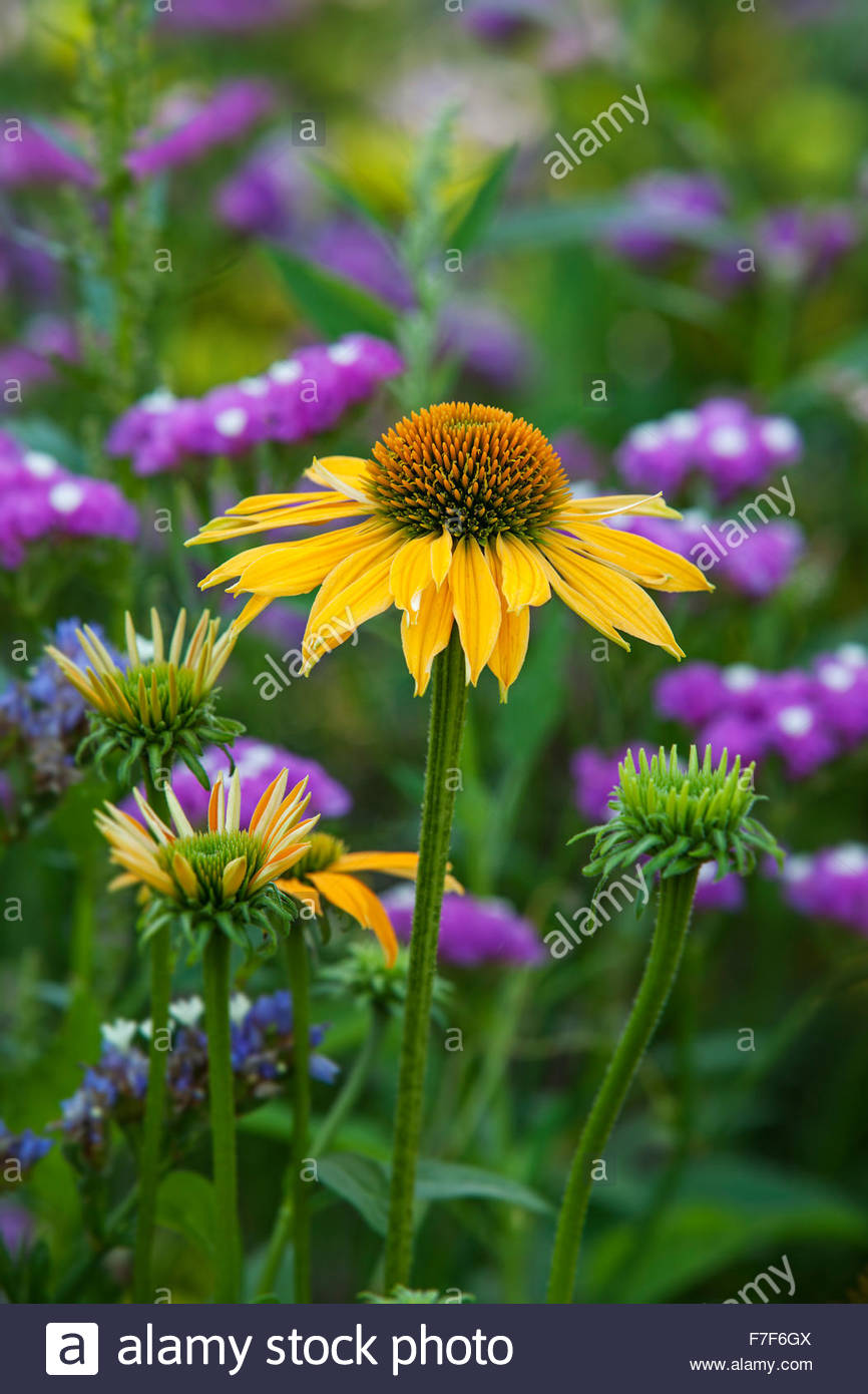 Echinacea yellow flower with Limonium sinuatum in background - Stock Image