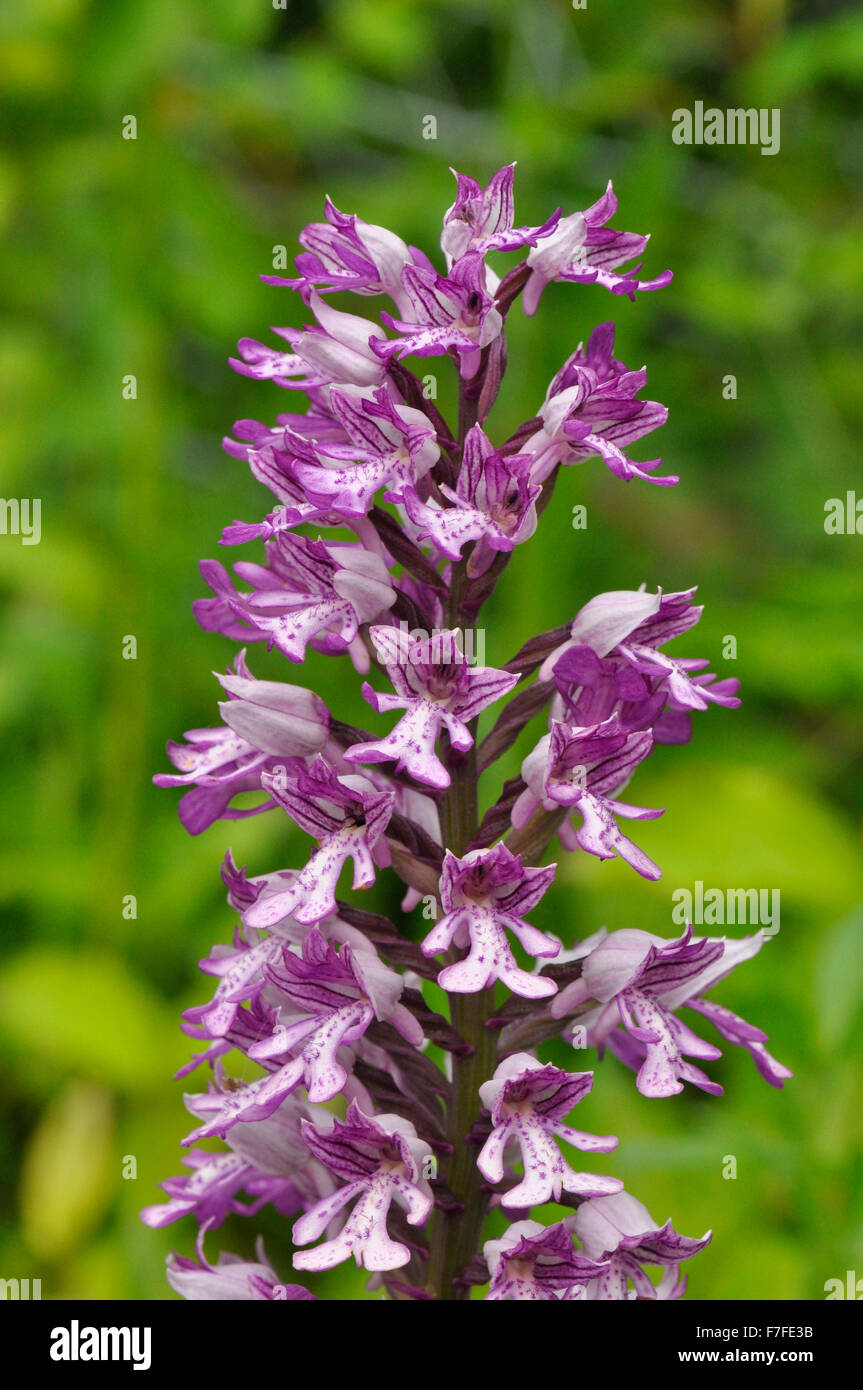 Military Orchid, Orchis militaris,rare, Buckinghamshire, UK - Stock Image