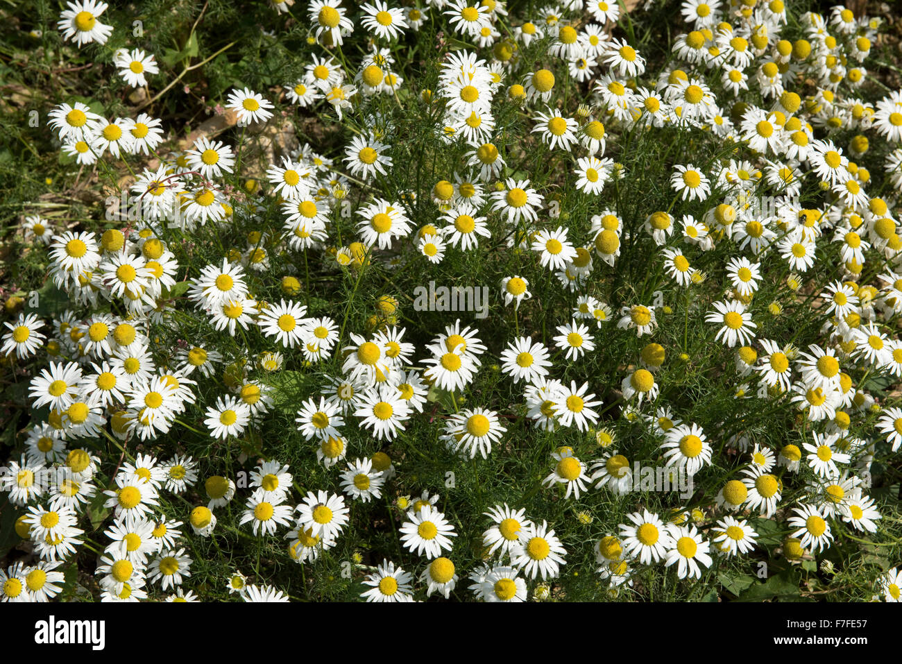 Scentless Mayweed Stock Photos Amp Scentless Mayweed Stock
