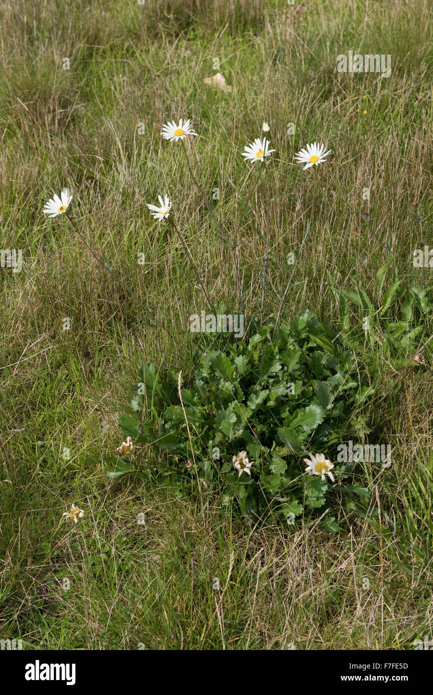 An ox-eye daisy, Leucanthemum vulgare, plant flowering in dry grassland in summer, Berkshire, September Stock Photo