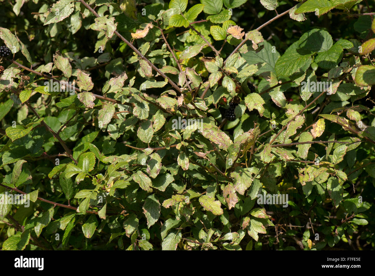 Silver leaf disease, Chondrostereum purpureum, on wild plum trees in a hedgerow, Berkshire, September - Stock Image