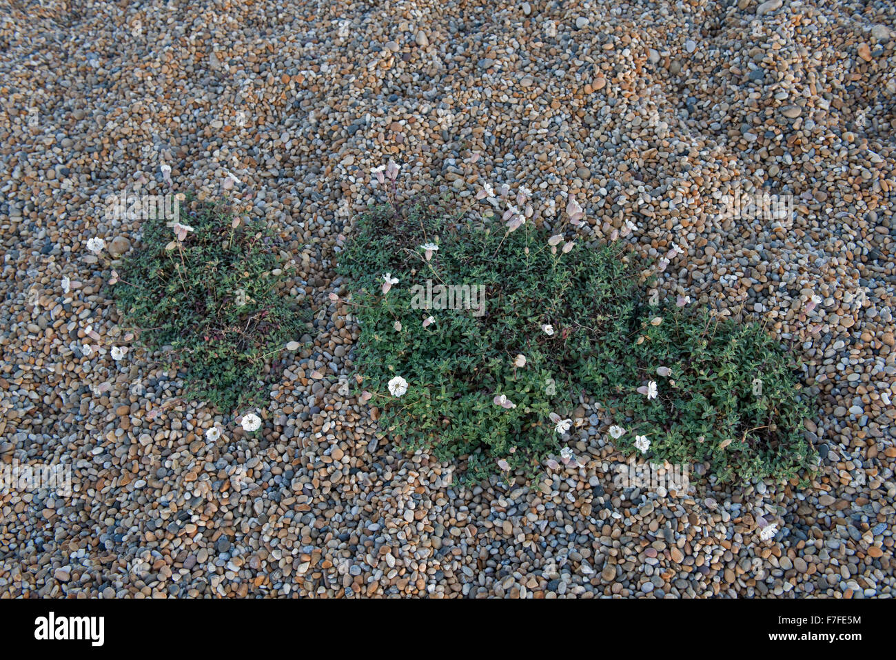 Sea campion, Silene uniflora, flowering in the shingle of Chesil Beach, Dorset, October - Stock Image