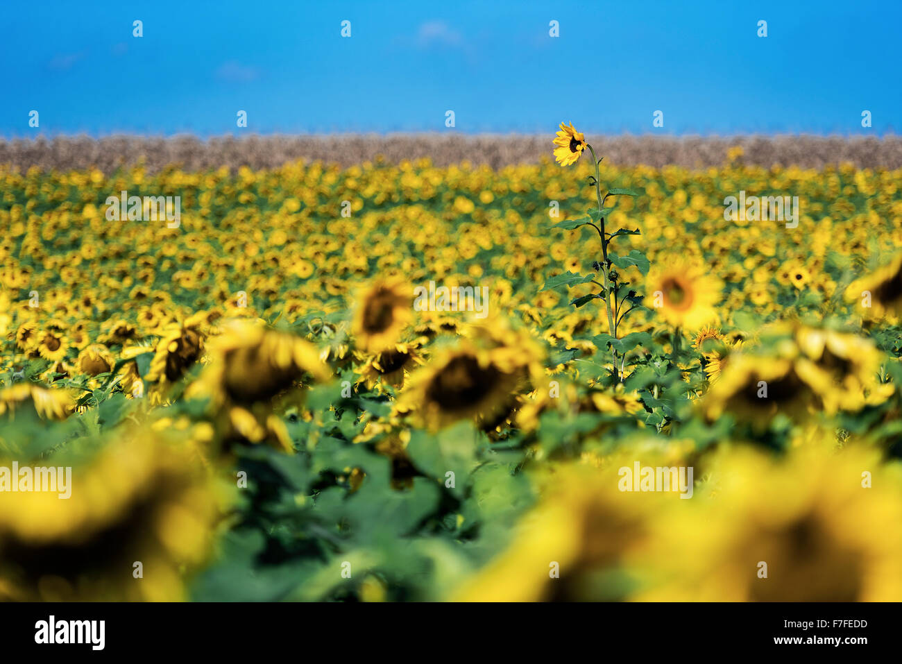 Uniquely tall sunflower in a field of sunflowers, Howard, Pennsylvania, USA - Stock Image