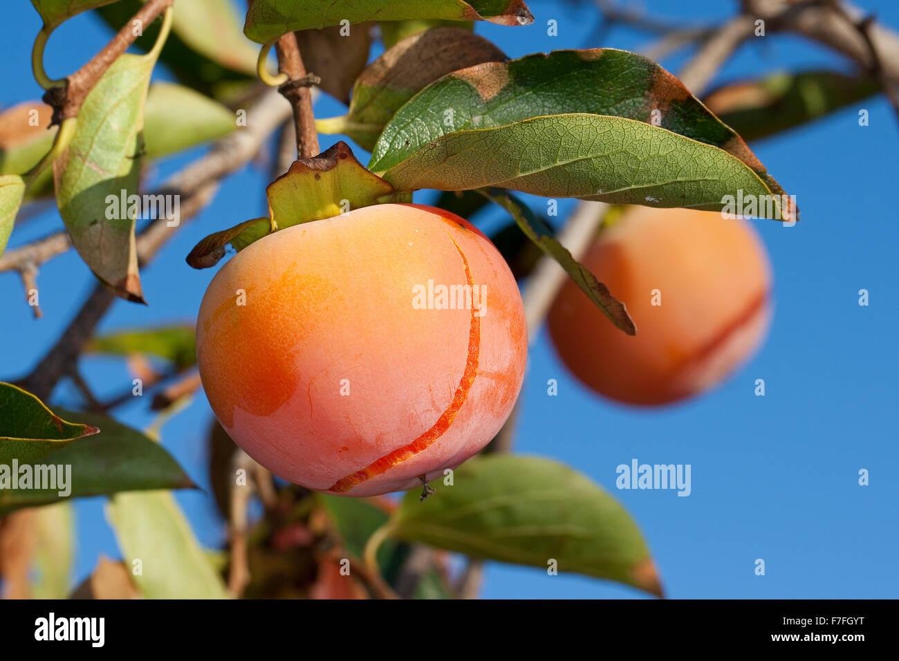 Japanese Persimmon, Kaki Persimmon, Asian Persimmon, Kakipflaume, Kaki-Pflaume, Kakibaum, JSharon-Frucht, Diospyros - Stock Image