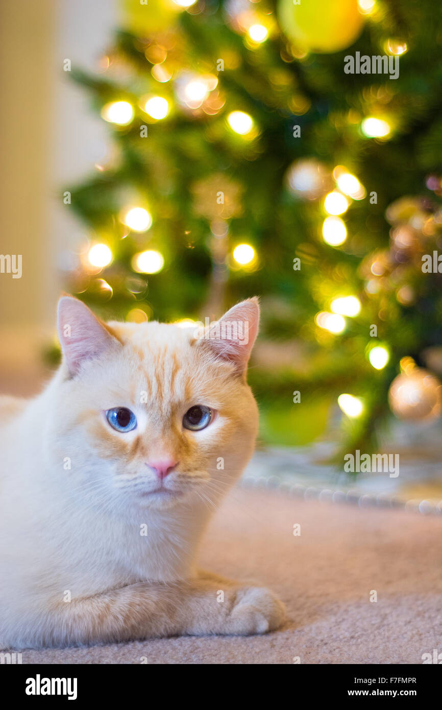A white flamepoint Siamese cat sits in front of a decorated Christmas tree. - Stock Image